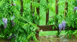 Wisteria – Can make your Charlottesville Home look fantastic!