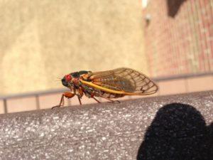 Charlottesville Cicadas are here
